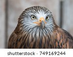 Portrait Of Red Kite