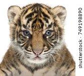 sumatran tiger cub  panthera... | Shutterstock . vector #749198890