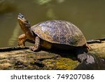 A River Turtle On A Log In...