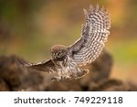 young little owl  athene noctua ... | Shutterstock . vector #749229118
