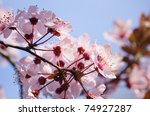 closeup of pink flowers in early spring - stock photo