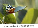 Painted Reed Frog
