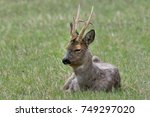 Male European Roe Deer Lying I...