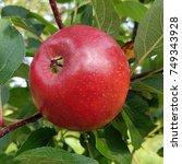Small photo of Moor Red, Apple, malus, domestica