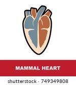 mammal heart anatomy vector... | Shutterstock .eps vector #749349808