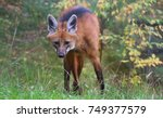 a male maned wolf standing in... | Shutterstock . vector #749377579