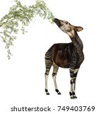 Okapi Eating Foliage From A...