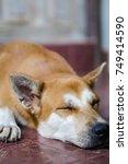 cutie brown dog sleeping on the ... | Shutterstock . vector #749414590