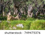 Sheeps In Olive Trees...