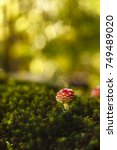Small photo of Toxic and hallucinogen mushroom Amanita muscaria in closeup