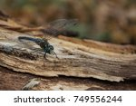 Small photo of Beautiful dragonfly in the forest (Aeshna juncea)