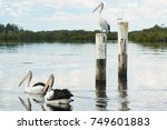 Pelicans In The Lake ...