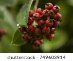 Small photo of Close-up of Acuminate Cotoneaster red berries and green leaves.