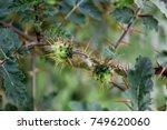 Thorn Tree  Thorn Flower  Thor...