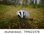 badger in forest  animal nature ... | Shutterstock . vector #749621578