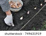 farmer's hand planting garlic... | Shutterstock . vector #749631919