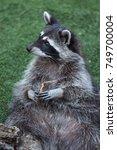 raccoon  procyon lotor   also... | Shutterstock . vector #749700004
