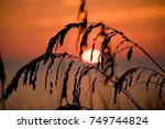 Sea Oats Silhouetted By The...
