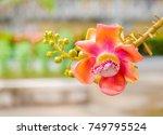 cannonball tree flower ... | Shutterstock . vector #749795524