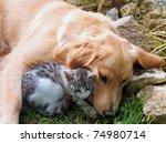 Stock photo domestic cat and golden retriever 74980714
