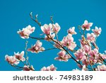 Blooming Magnolia Tree In Spring