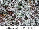 Small photo of Acaena buchananii silver green plant with brown background