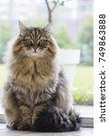 adorable fluffy cat  siberian... | Shutterstock . vector #749863888