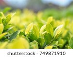 green leaf in sunlight | Shutterstock . vector #749871910