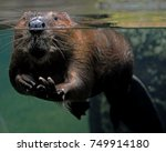 Beaver At The Water Line In A...