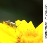 Small photo of Miridae insect in the wild