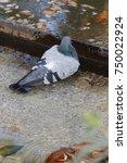 pigeon doing his toilet | Shutterstock . vector #750022924