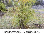 Stock photo hips bush with ripe berries berries of a dogrose on a bush fruits of wild roses thorny dogrose 750062878
