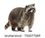 racoon  procyon iotor  standing ... | Shutterstock . vector #750077089