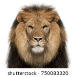 Stock photo close up of lion panthera leo years old in front of white background 750083320