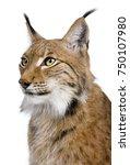 Close Up Of Eurasian Lynx  Lyn...