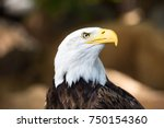 American Bald Eagle Close Up I...