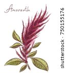 Amaranthus Or Amaranth. Vector...