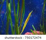 Small photo of Yellow Alligator Pipefish