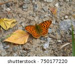 Small photo of photo of spotted butterfly Geometridae on gravel