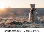 Wire Haired Fox Terrier Dog In...