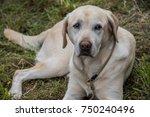 labrador retriever on meadow...   Shutterstock . vector #750240496