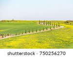 Road With Cypress Trees In The...