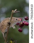 harvest mice  mouse portrait on ... | Shutterstock . vector #750263410