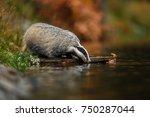 badger running in forest ... | Shutterstock . vector #750287044