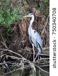 the grey heron  ardea cinerea ... | Shutterstock . vector #750340708