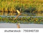 the squacco heron  ardeola... | Shutterstock . vector #750340720