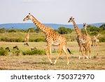giraffes in masai mara safari...   Shutterstock . vector #750372970