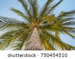 coconuts palm tree perspective... | Shutterstock . vector #750454510