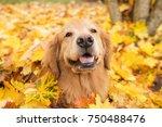 golden retriever dog in a pile... | Shutterstock . vector #750488476