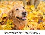 golden retriever dog in a pile... | Shutterstock . vector #750488479